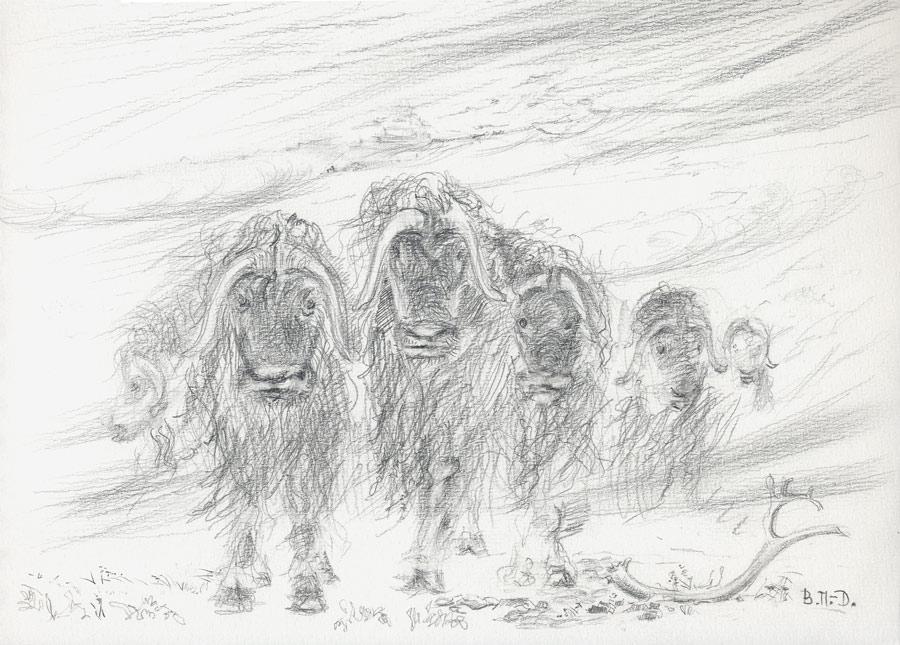 Muskoxen, Wrangel Isl,1985