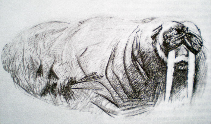 Walrus, pencil. F.Nansen